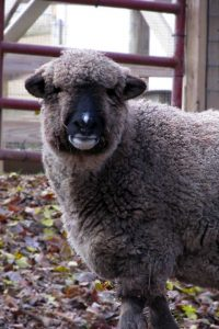 Gruff the Romney sheep has outsmarted many an honor student.